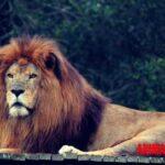 ¿Por qué el león es rey de la selva, incluso si vive en la sabana?