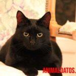 ¿Por qué dicen que los gatos negros dan mala suerte? ¿Tiene algo de verdad?
