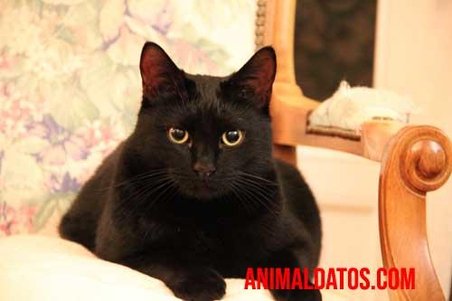 gato negro mala suerte