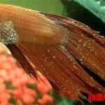 Punto blanco en peces: que es, síntomas y tratamiento