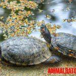 ¿Cómo saber la edad de una tortuga de la tierra y agua? 2 métodos
