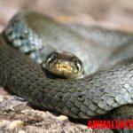 Diferencia entre víbora, serpiente y culebra. Características de cada una