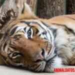 Aprende porque los tigres son naranjas y tienen rayas