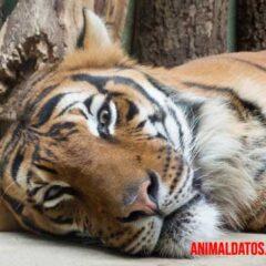 porque los tigres son naranjas