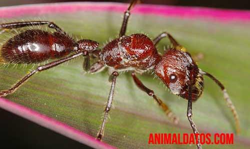 Paraponera-clavata