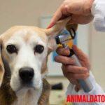 ¿Qué son los otohematoma o hematomas en perros?  Causas, tratamiento y prevención