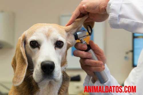 hematomas en perros