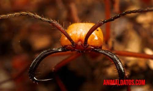 las 5 hormigas mas peligrosas