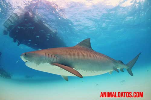 tiburones más grandes del mundo