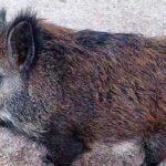 El cerdolí: origen, características y porque es una amenaza ambiental