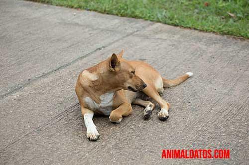 alopecia en perros