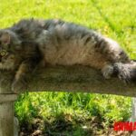Los 6 gatos mas grandes del mundo, razas para tener en casa