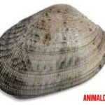 Los diferentes tipos de almejas comestibles del mar
