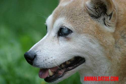 como cuidar a un perro ciego y sordo