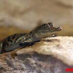 Como nacen los cocodrilos: cortejo, reproducción y gestación