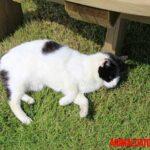Gato manx: origen, características y cuidados