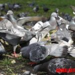 Las palomas como plaga: cual es el problema con ellas y como ahuyentarlas