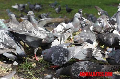 palomas como plaga
