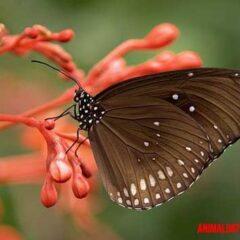 curiosidades acerca de las mariposas