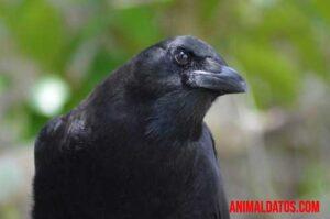 los cuervos hablan
