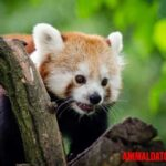 ¿Qué animal es Shifu de Kung Fu panda en la vida real?