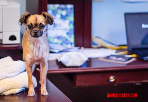 Se proponen animales de compañía para bajar el estrés en el trabajo