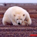 5 ejemplos de animales que viven en el polo norte con sus nombres y fotos
