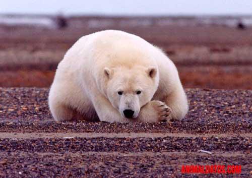 animales que viven en el polo norte