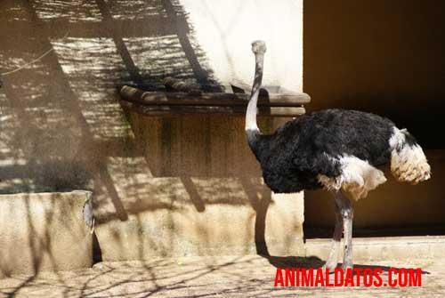 avestruz desciende prehistórico