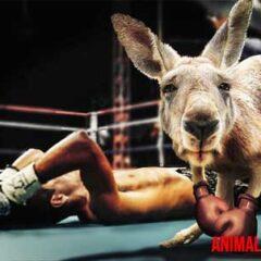 canguros boxeadores