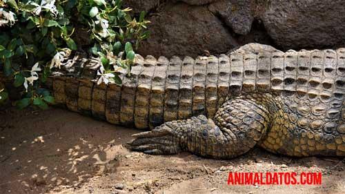 cocodrilo como dinosaurio