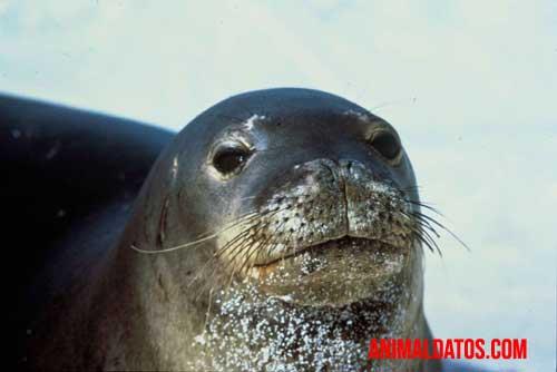 foca del norte