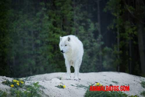 lobo del ártico