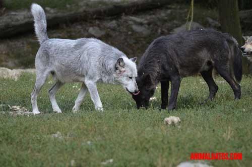 lobos aulla