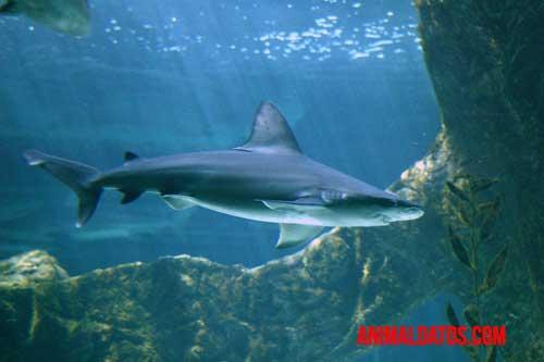 tiburón existe mucho tiempo