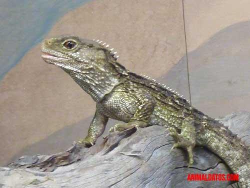 tuátaras similar al dinosaurio