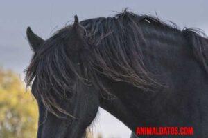 caballo frisón negro