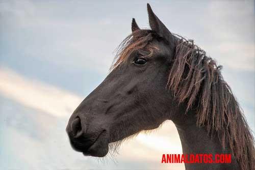 caballo frisón