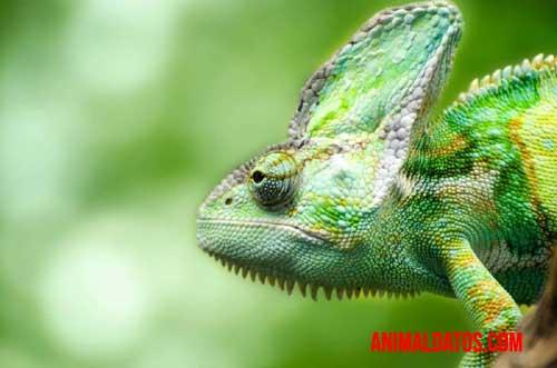 camaleón de ojos bifocales