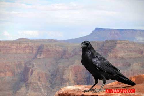 curiosidades de los cuervos