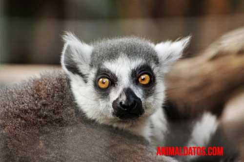 lémur de ojos vistosos