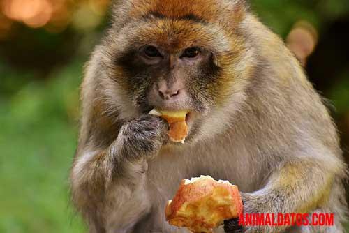que comen los monos