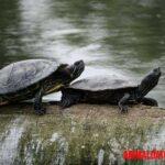 Como determinar si una tortuga es macho o hembra de forma sencilla