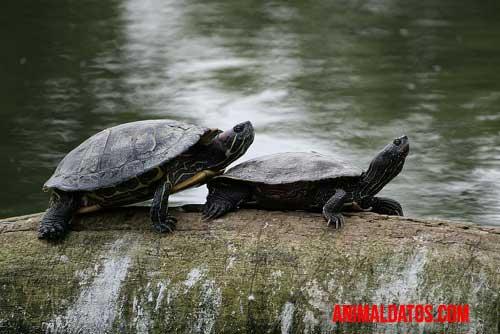 tortuga macho o hembra