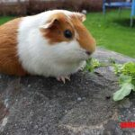 Todo sobre la cobaya americana: características y cuidados de este popular roedor