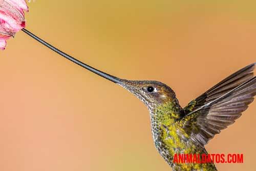 El colibrí pico de espada puede poseer un pico mucho más largo que el propio animal.