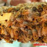 Como se comunican las abejas entre si para realizar sus actividades diarias
