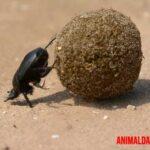 Escarabajo pelotero o estercolero: todo sobre el insecto que junta bolas enormes de estiércol