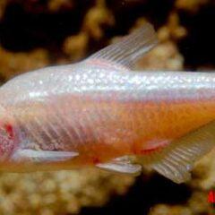 ojos evolucion Astyanax mexicanus