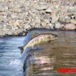 ¿Por qué algunos peces como el salmón nadan contracorriente?